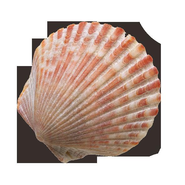 Seashell sand clip art. Clam clipart shell beach