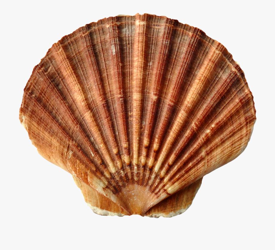 Clam clipart shell beach. Sea shells free