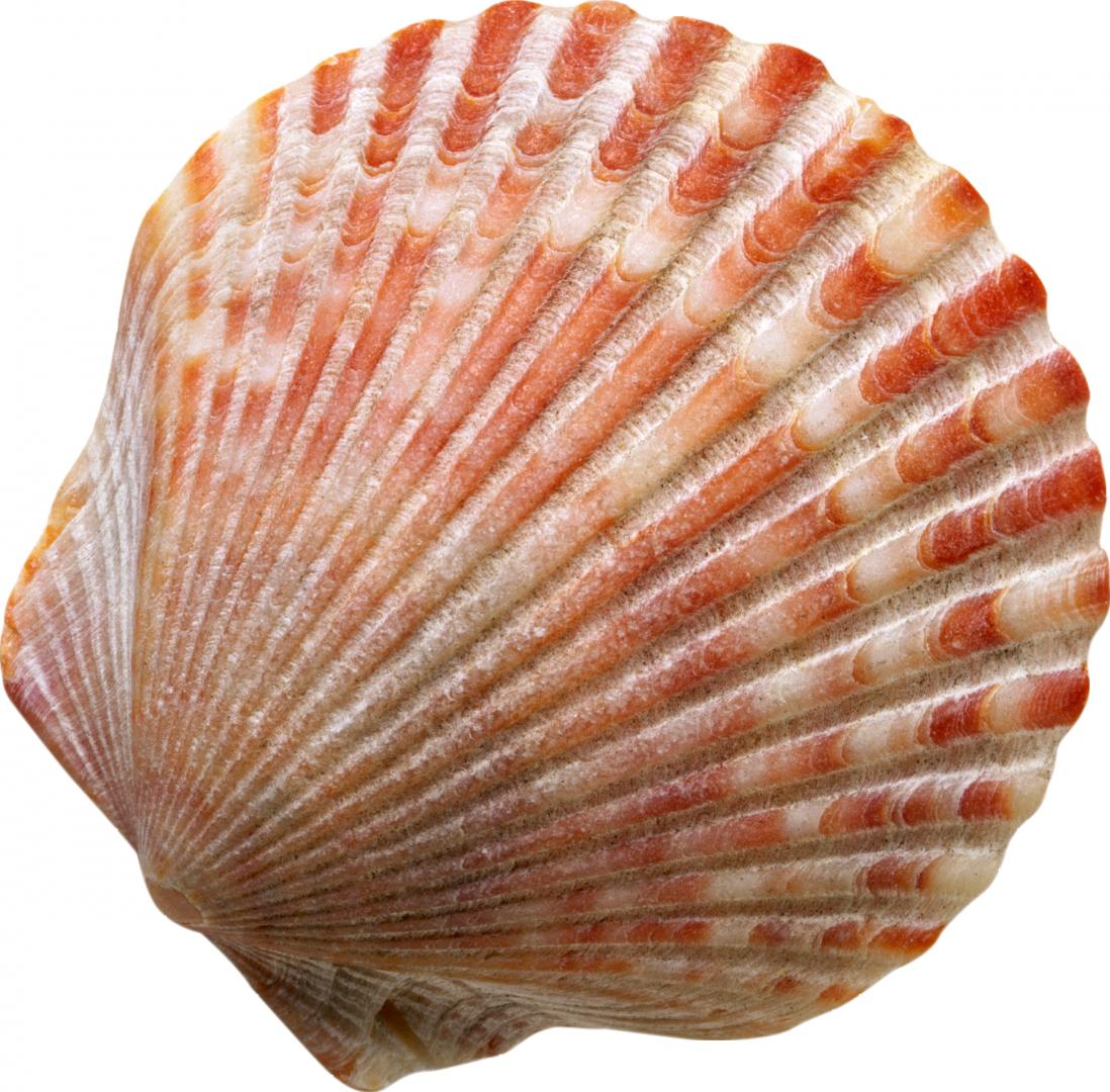 Shell clipart sea foods. Seashell clip art transprent