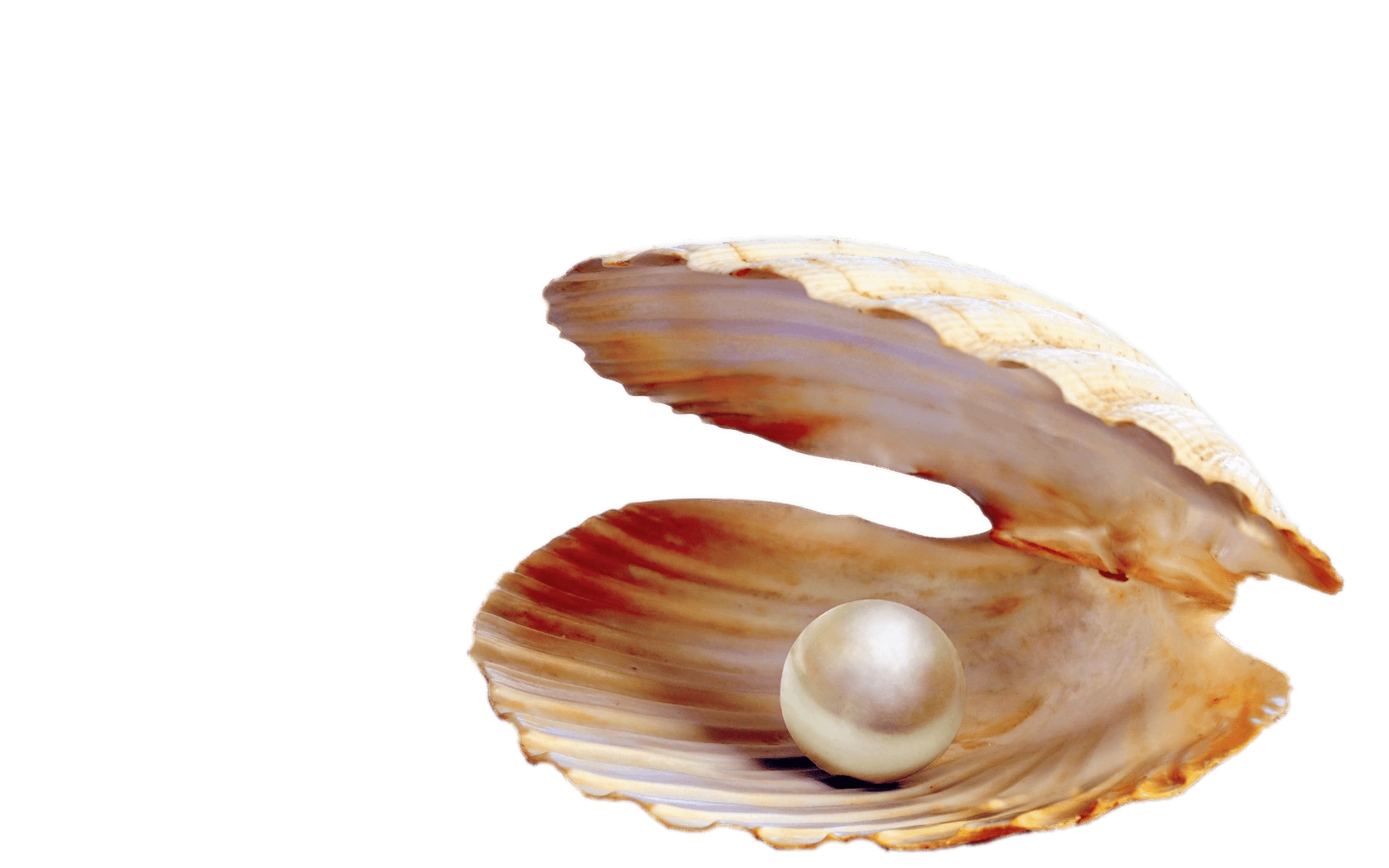 Pearl in transparent png. Shell clipart shell scallop