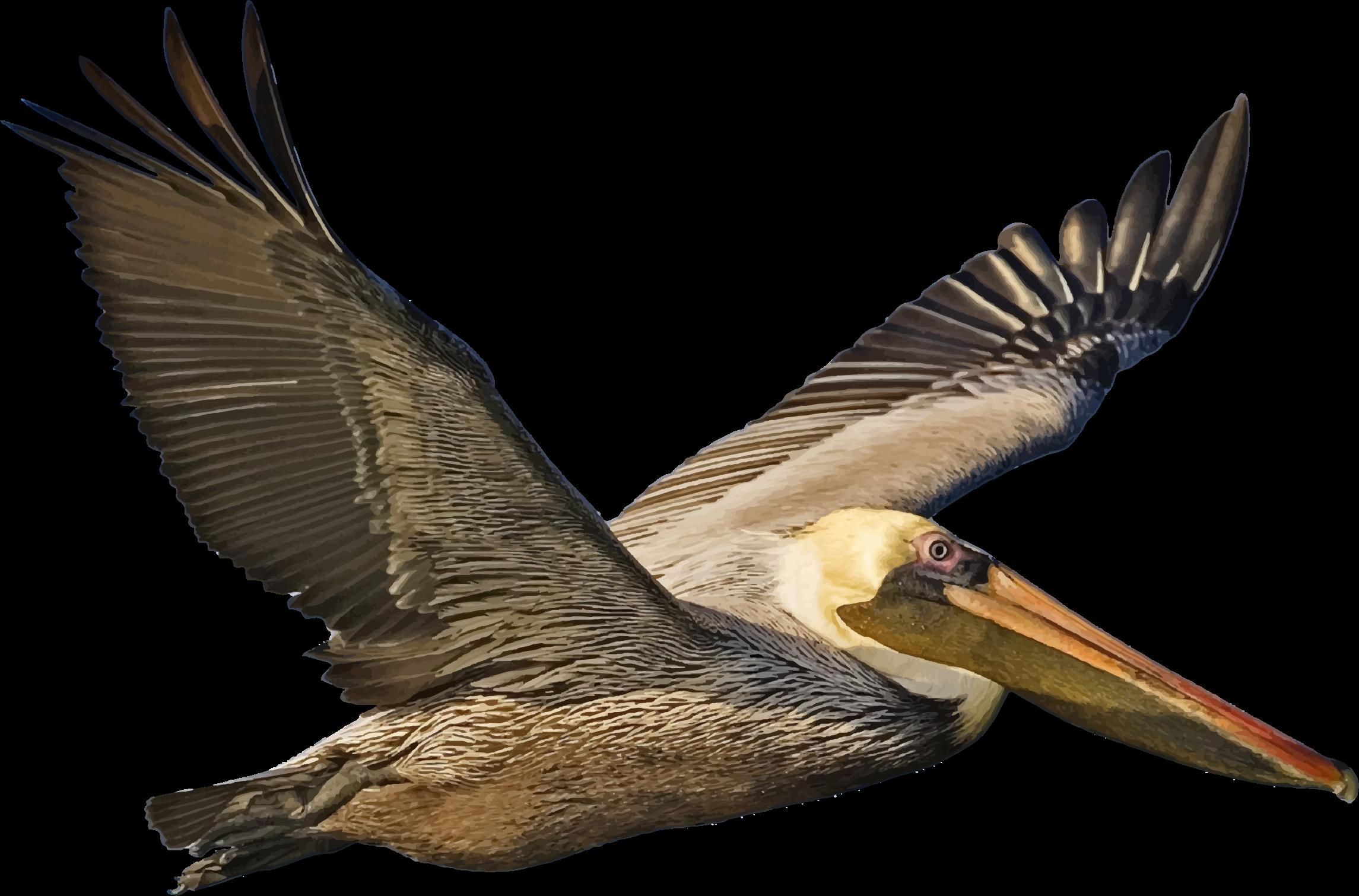 pelican clipart transparent