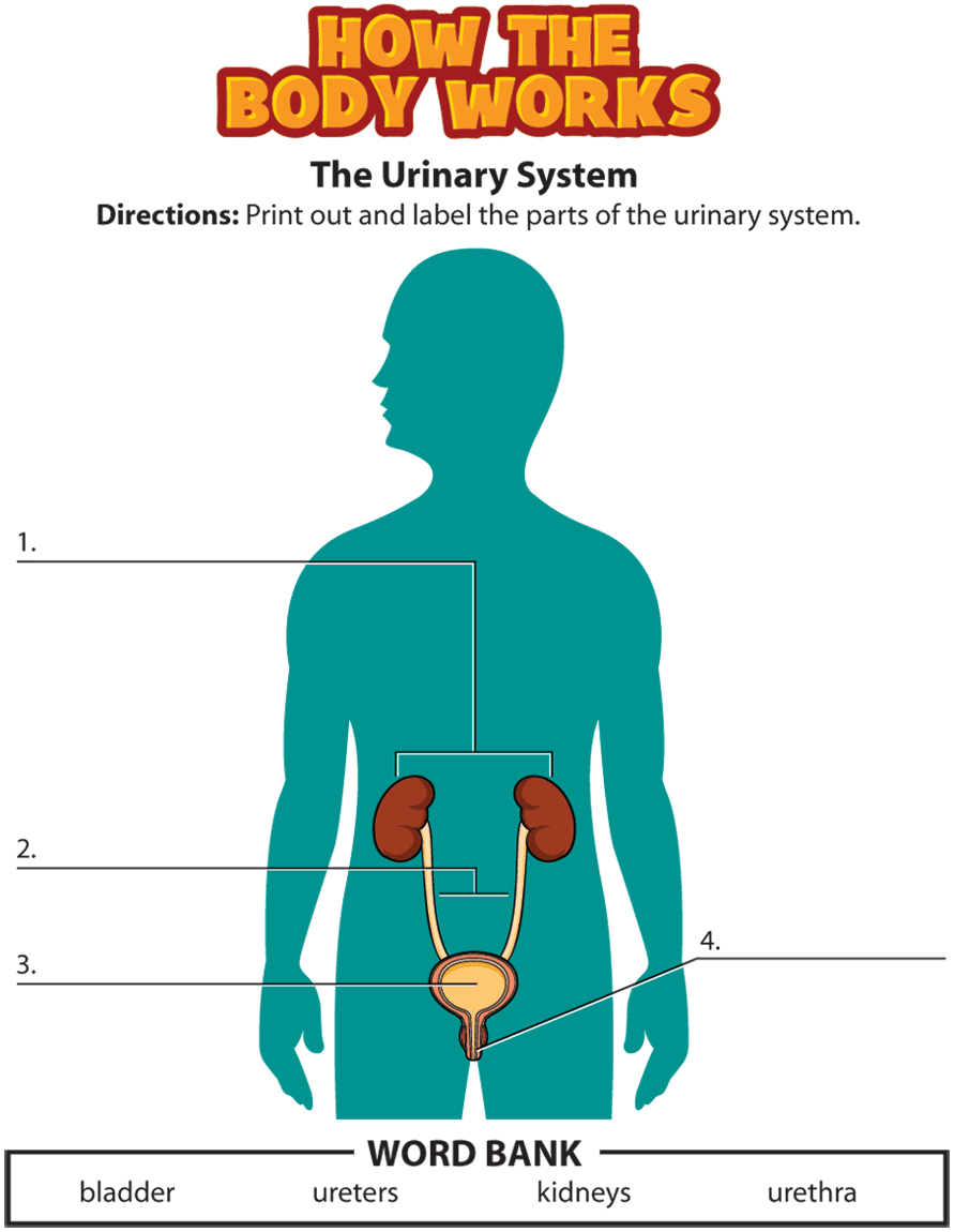 Language clipart word bank. Urinary system activity png