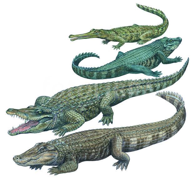 Alligator gharial illustration clip. Crocodile clipart caiman
