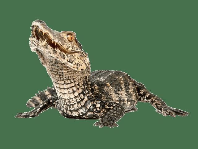 Dwarf transparent png stickpng. Crocodile clipart caiman
