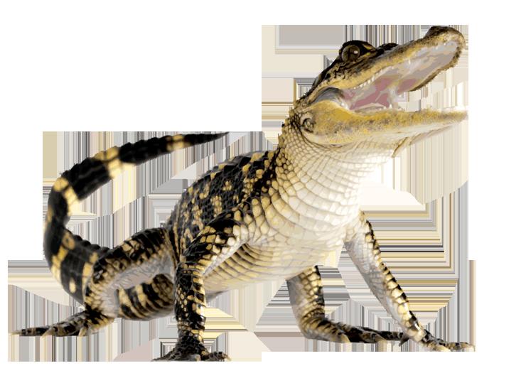 Foot clipart alligator. Aligator png hd transparent