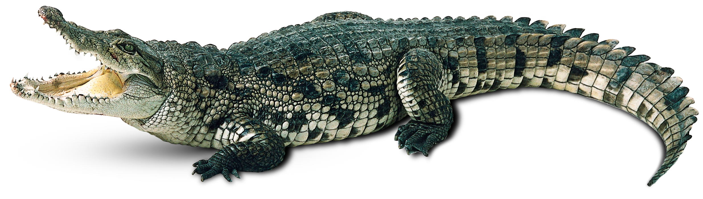 Clipart hippo crocodile. Free png image animals