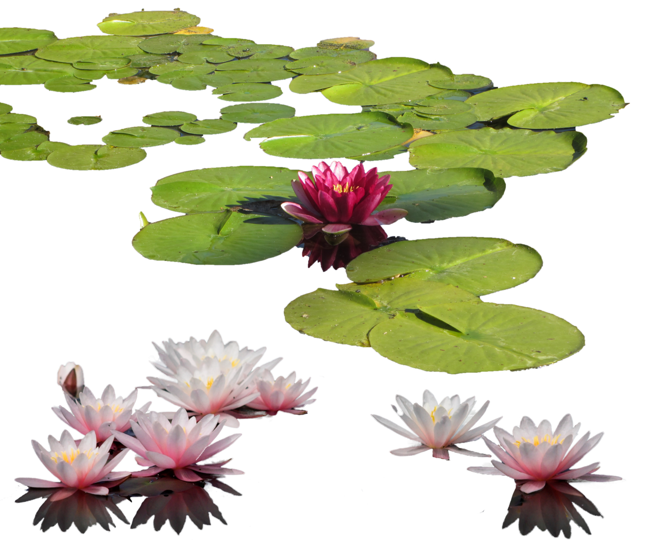 Purple clipart water lily. Scientific illustration nymphaea google