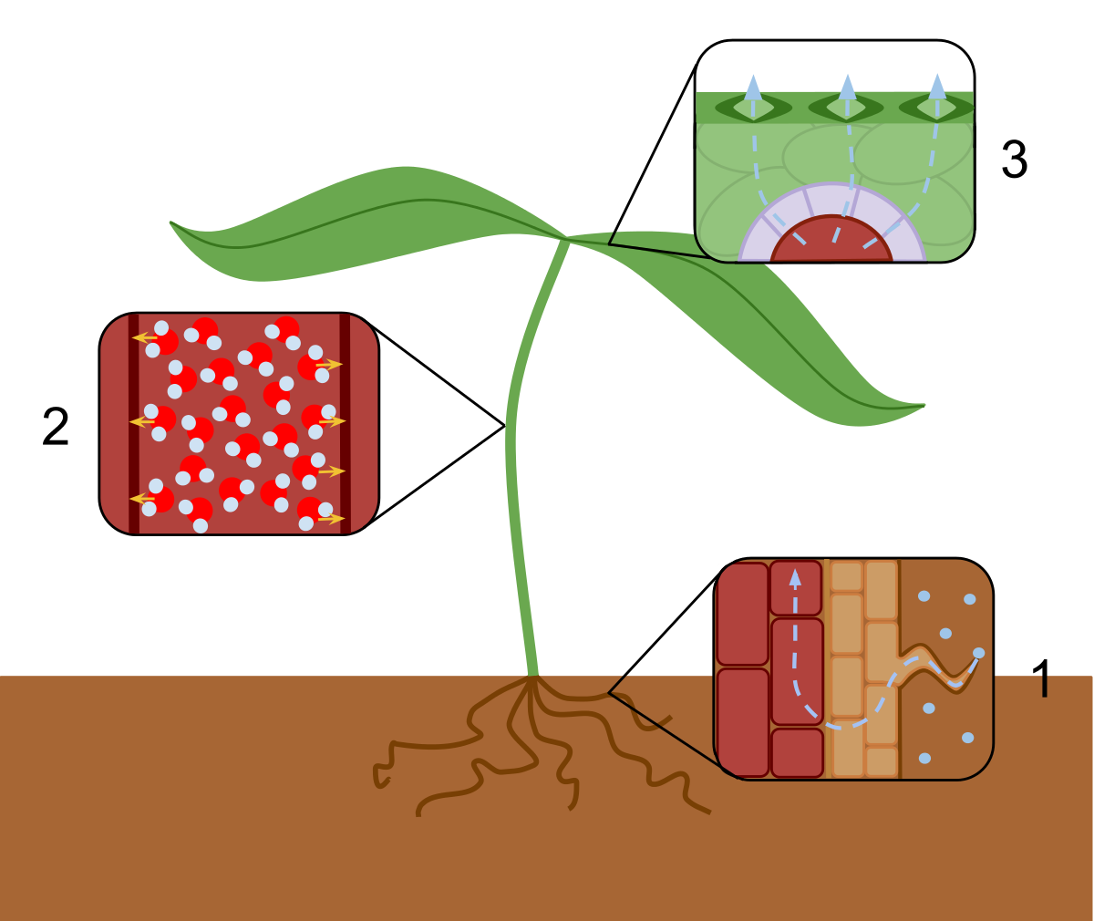 Clipart definition encyclopedia. Transpiration wikipedia