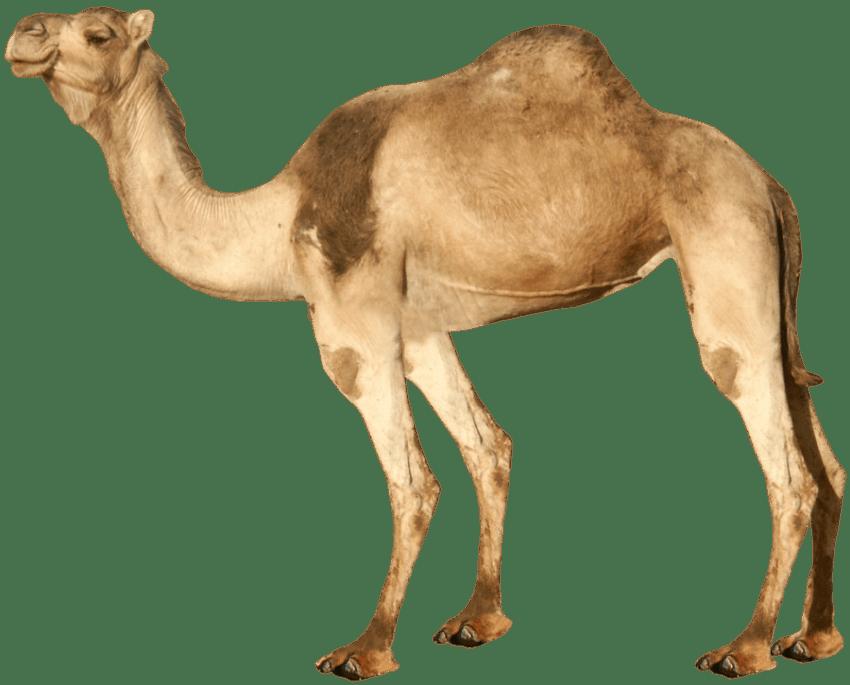 Png free images toppng. Desert clipart desert camel