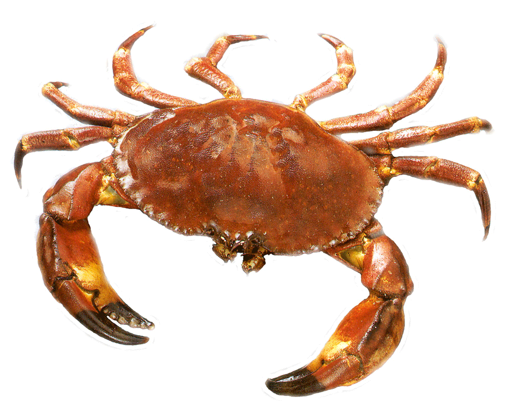 In png web icons. Crab clipart orange crab