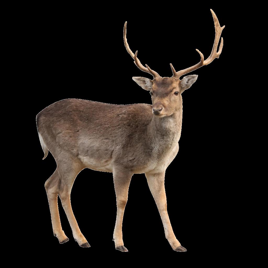 deer clipart whitetail deer