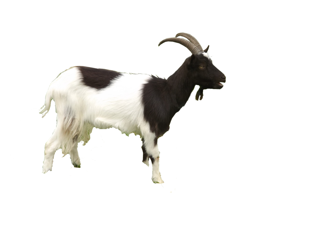 Png by virgolinedancer on. Horn clipart mother goat