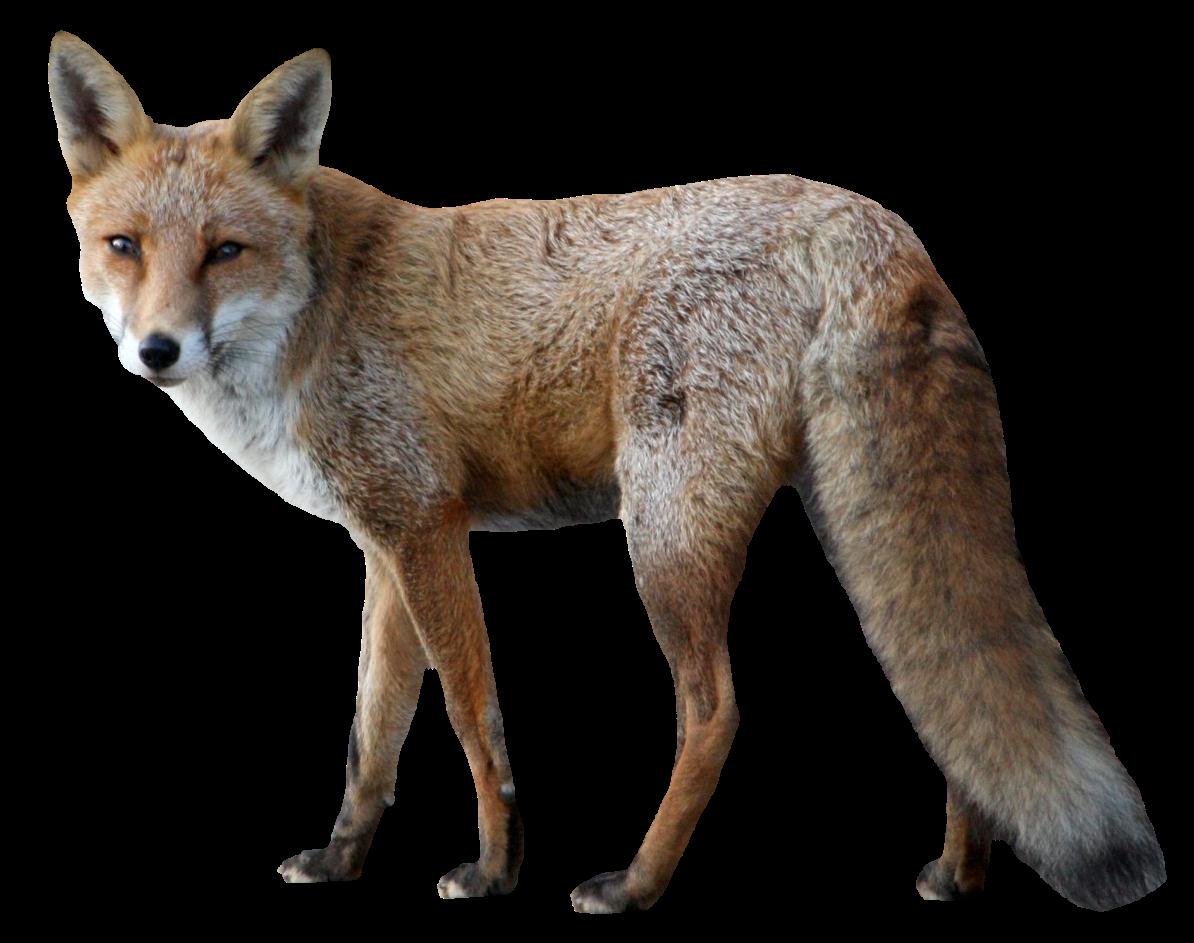 Coyote clipart jackal. Ftestickers foxfreetoedit sticker by