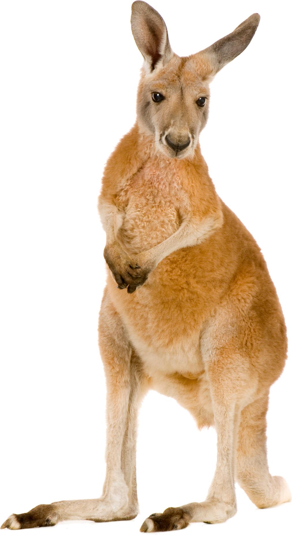 Kangaroo clipart orange. Icon web icons png