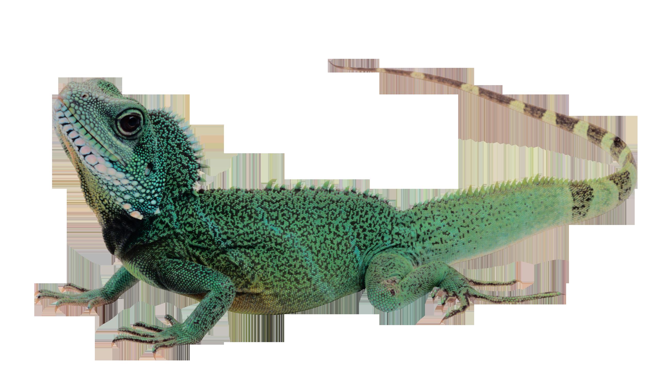 Gecko clipart transparent background. Lizard png