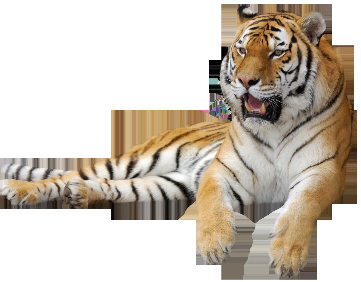 Tiger png picture tigers. Female clipart jaguar