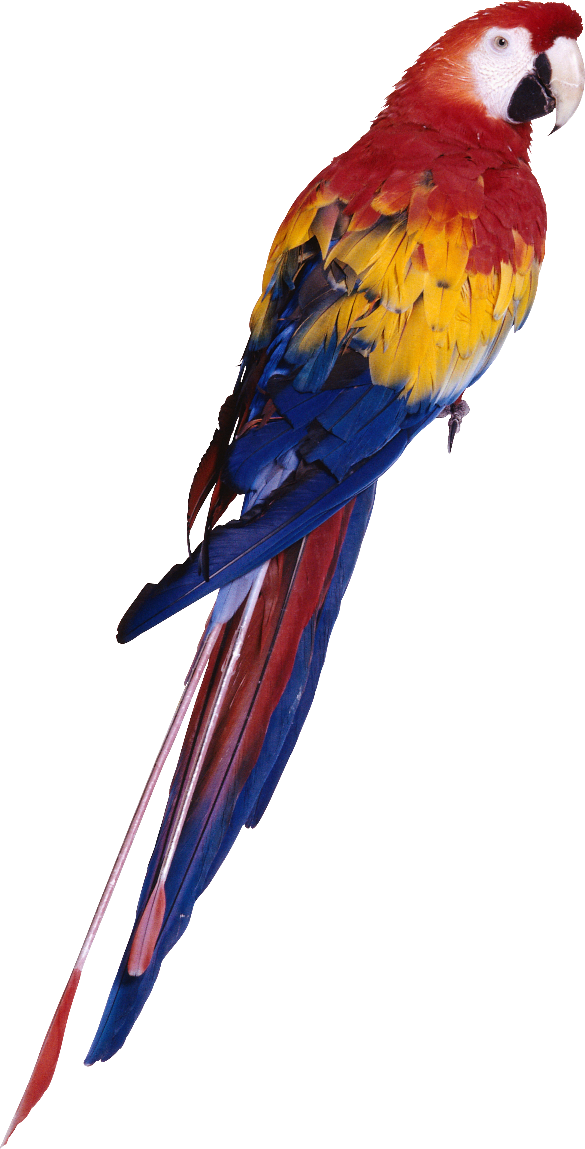 Png animal pinterest. Hawaiian clipart parrot
