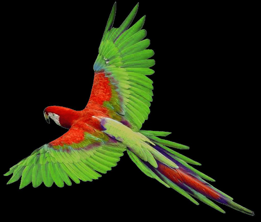 Parrot clipart budgie. Long tail transparent png