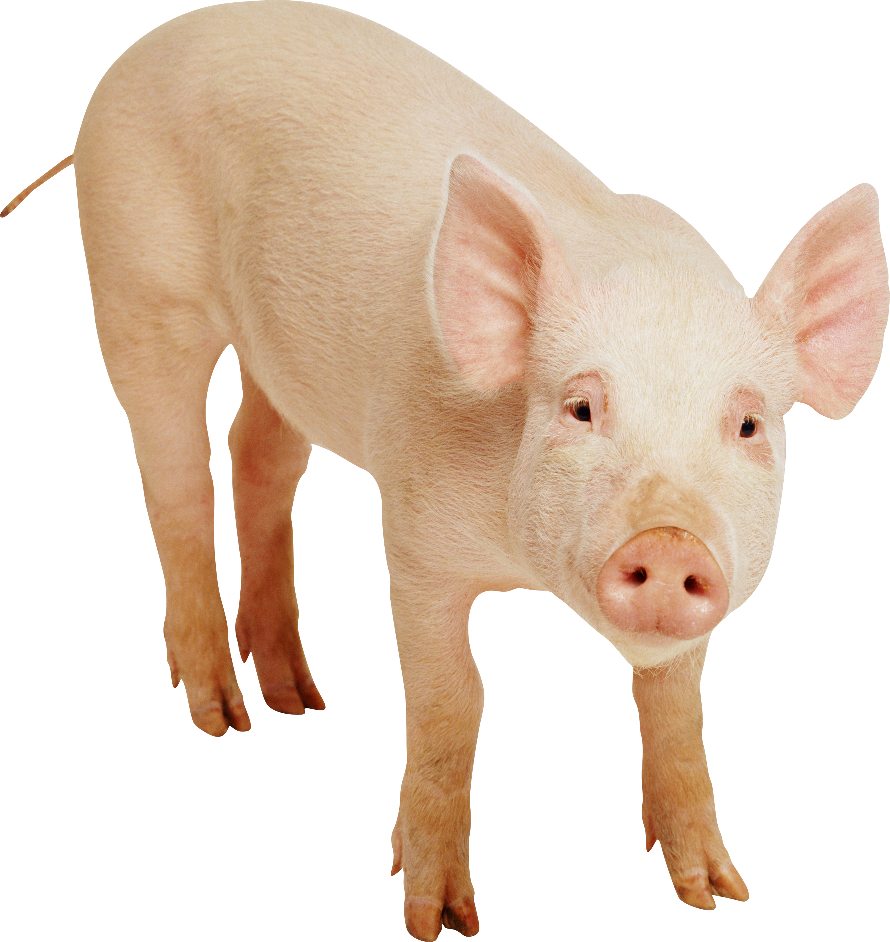 Wet clipart pig. Two isolated stock photo