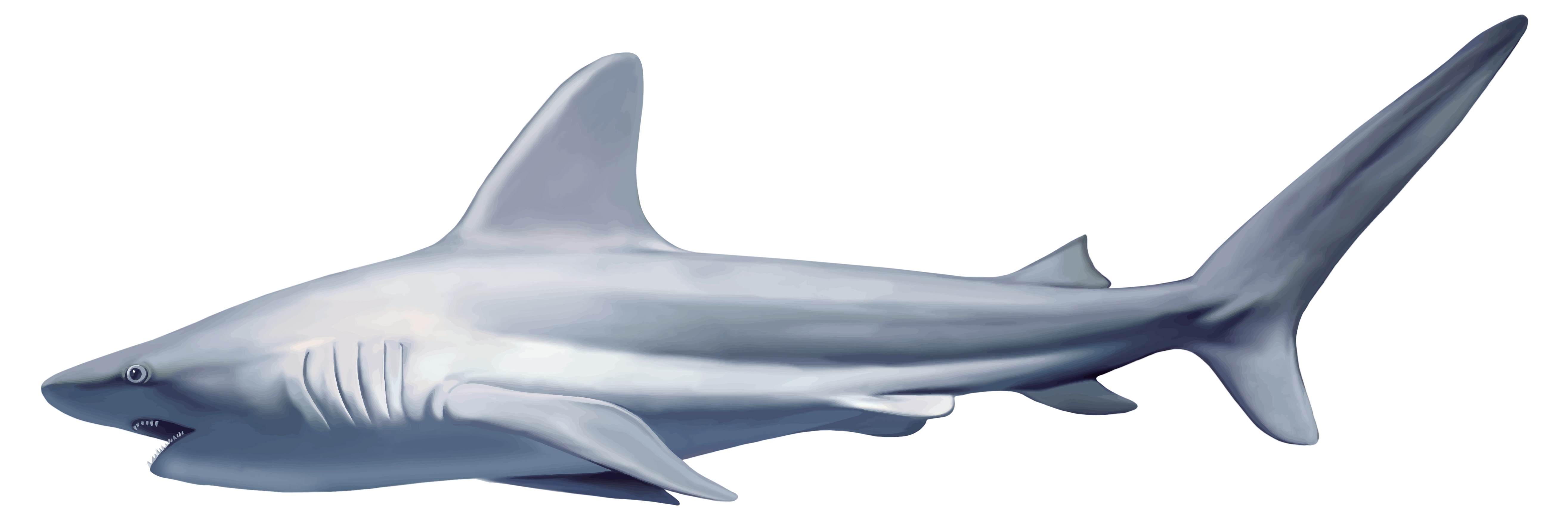 Clipart shark shark swimming. Realistic png best web