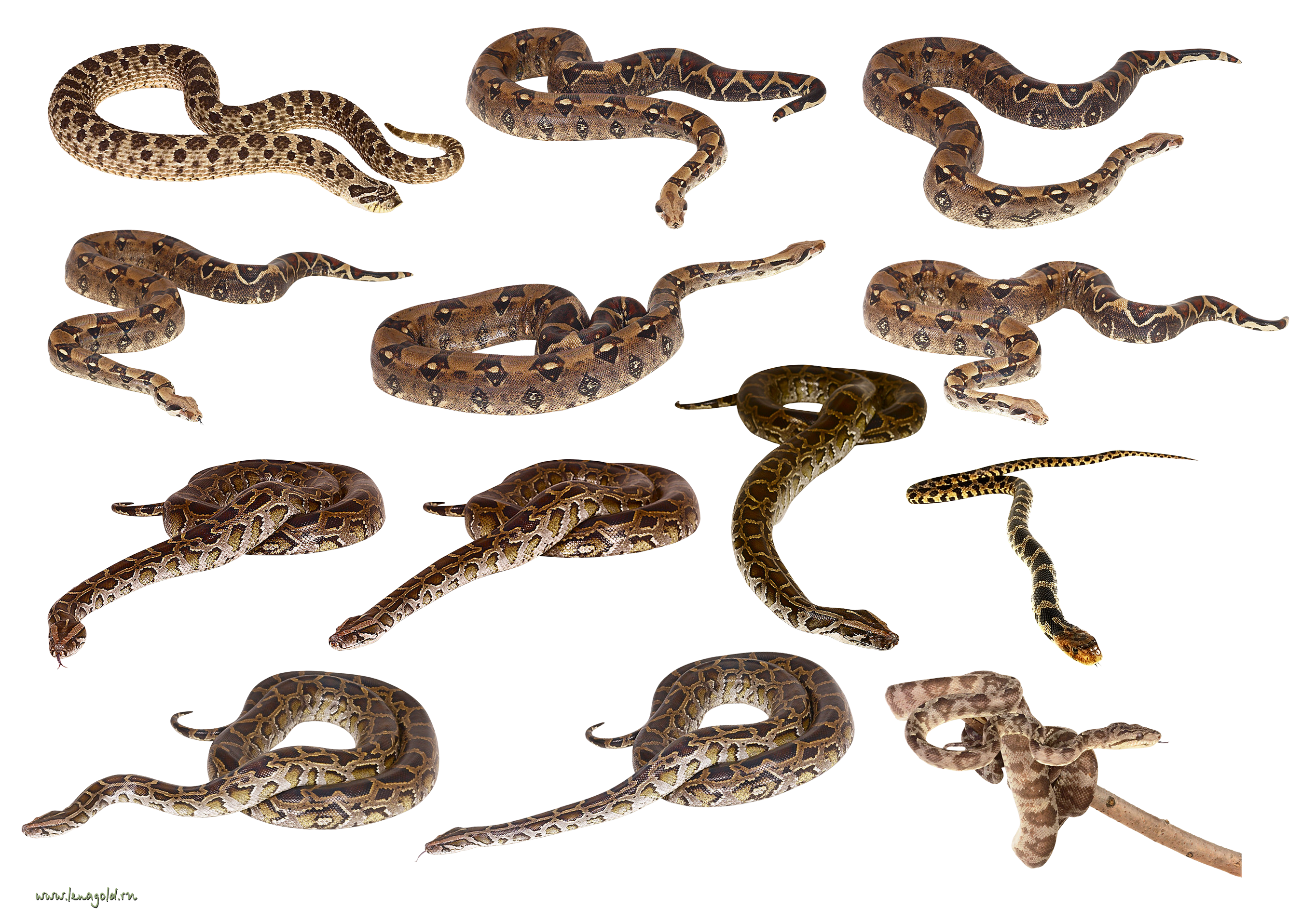 Snake clipart transparent background. Set of snakes one