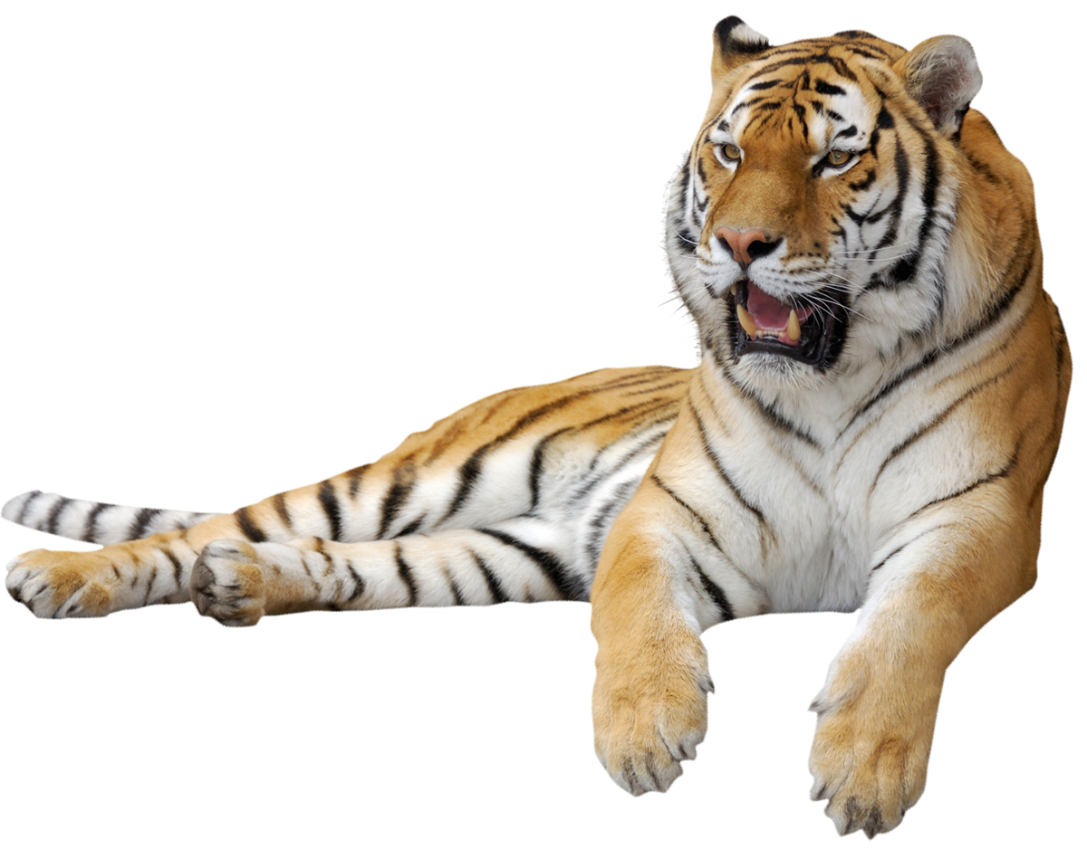 Png picture gallery yopriceville. Clipart walking tiger