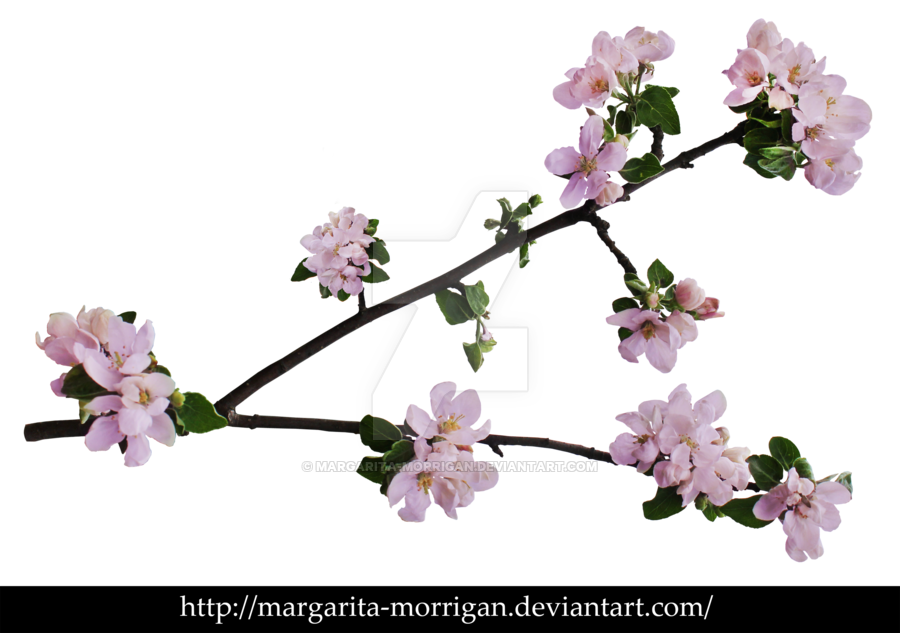 Branch of blossoms by. Clipart tree apple blossom