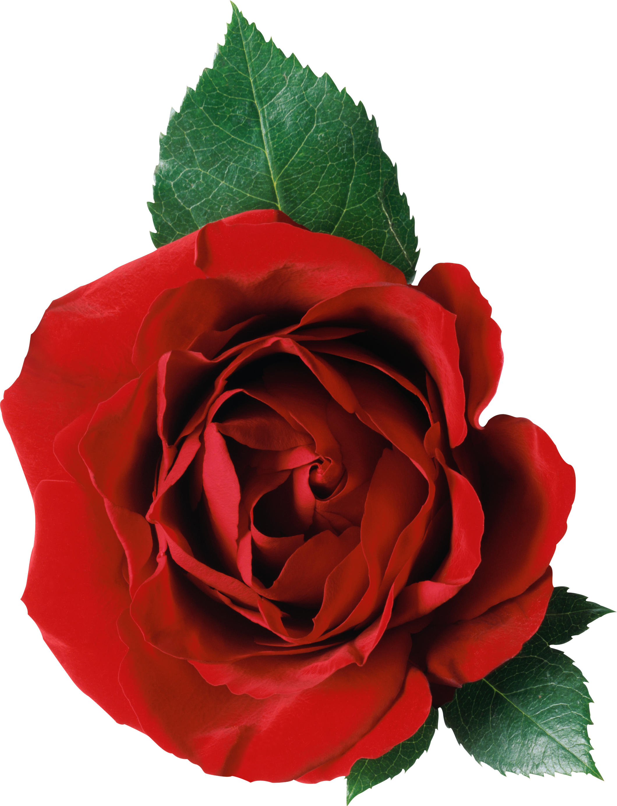 Red rose four isolated. Roses png images