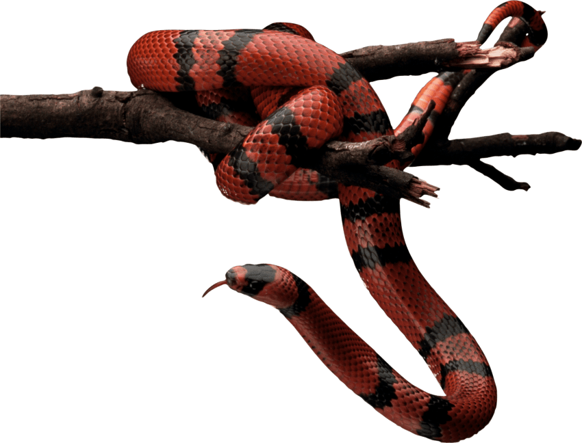Red and black on. Snake clipart apple