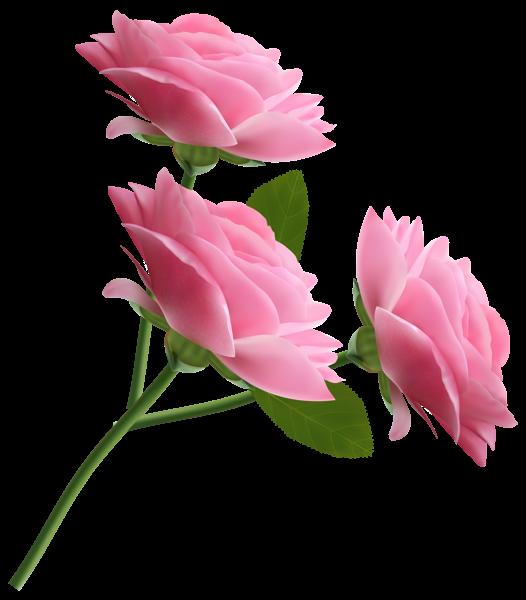Pink roses transparent png. Decorative clipart november flower