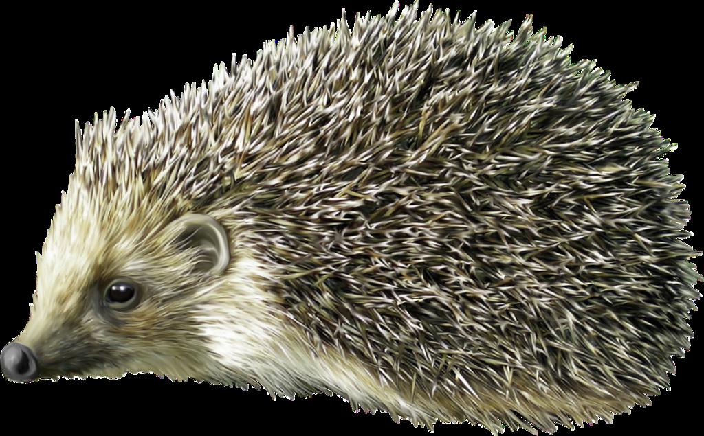 Element png animal arana. Fox clipart hedgehog