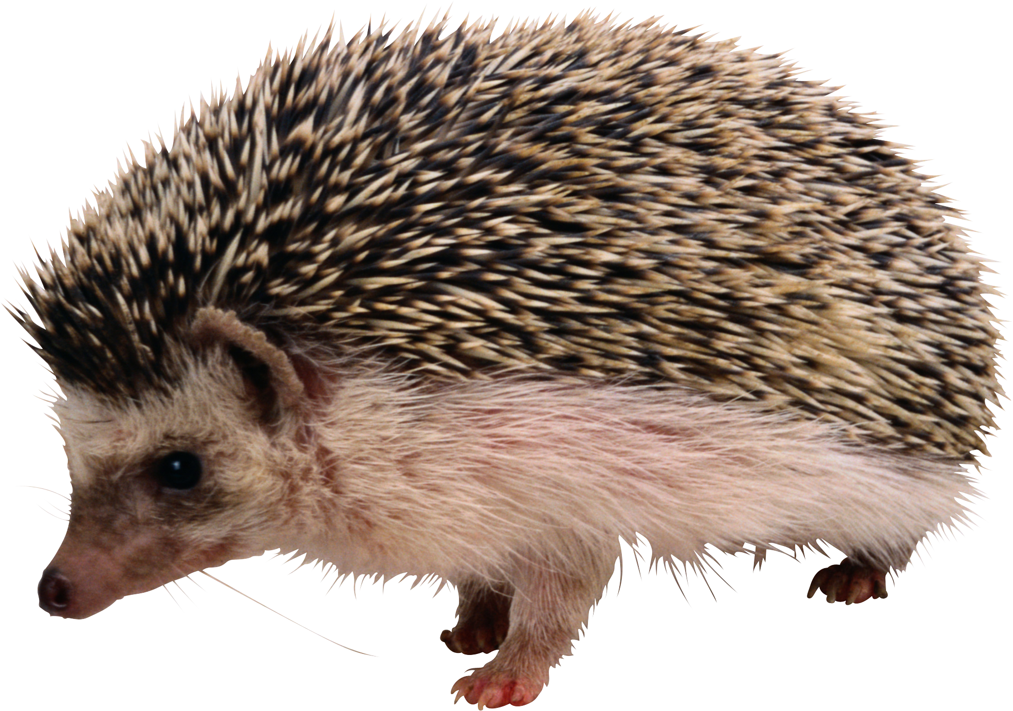 Clipart sleeping hedgehog. Png images free download