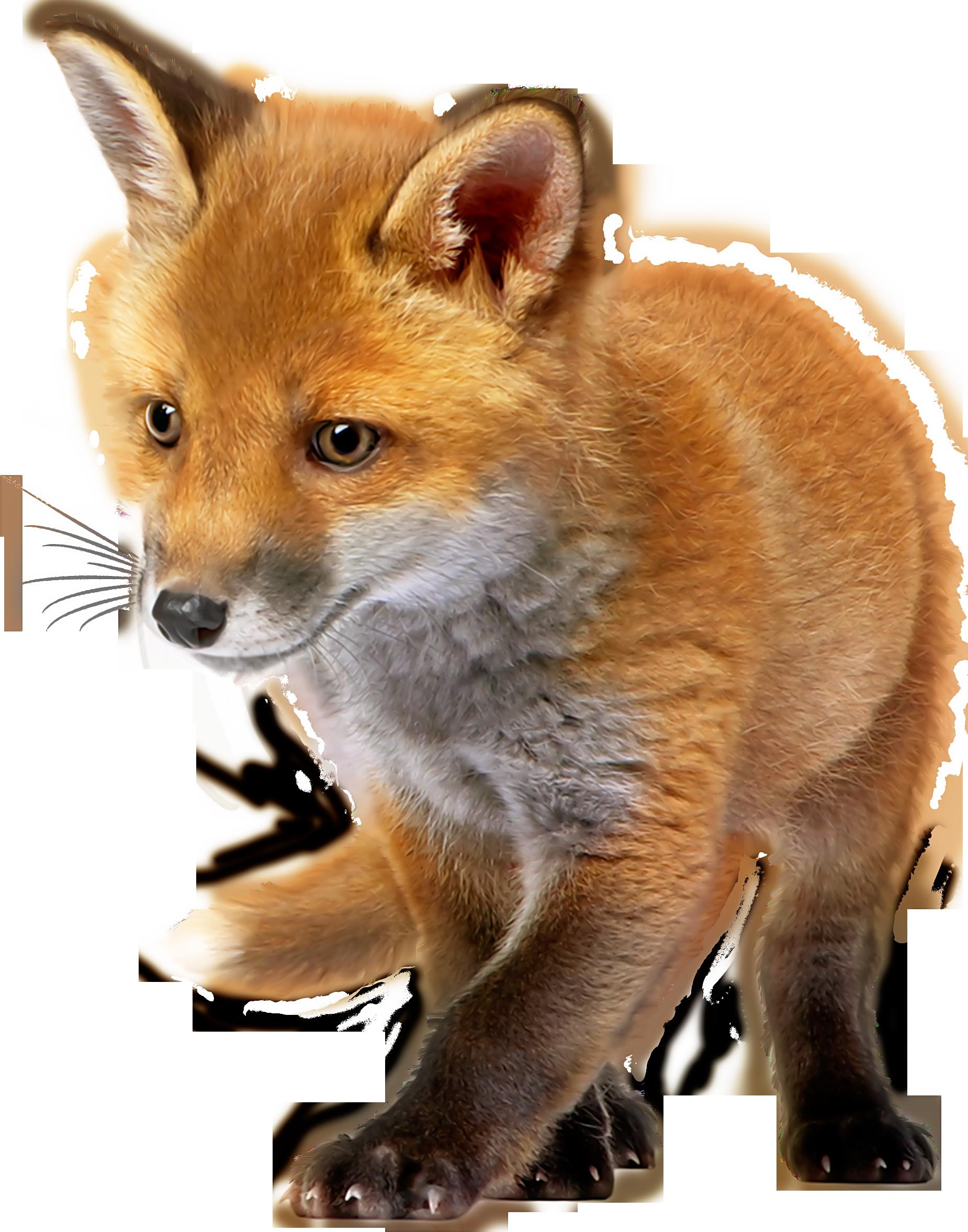 Fox clipart baby fox. Png clip art best