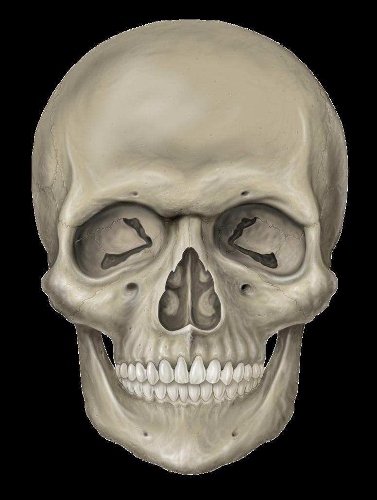 Human clipart creative. Download skull hq png