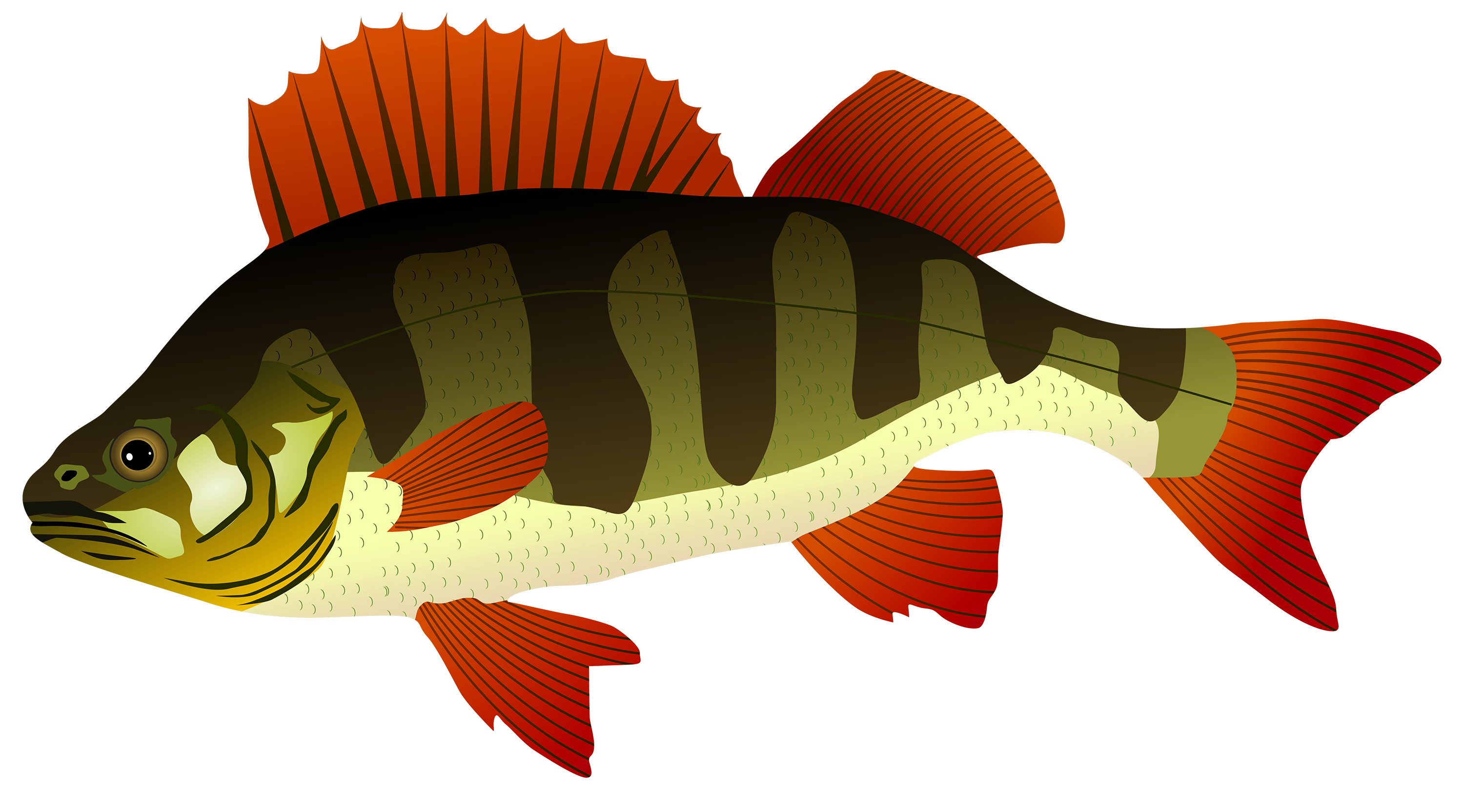 Perch fish png best. Shell clipart sea foods