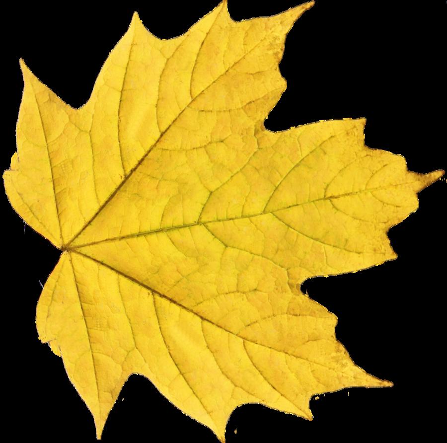 Autumn leaf ten isolated. Fern clipart daun