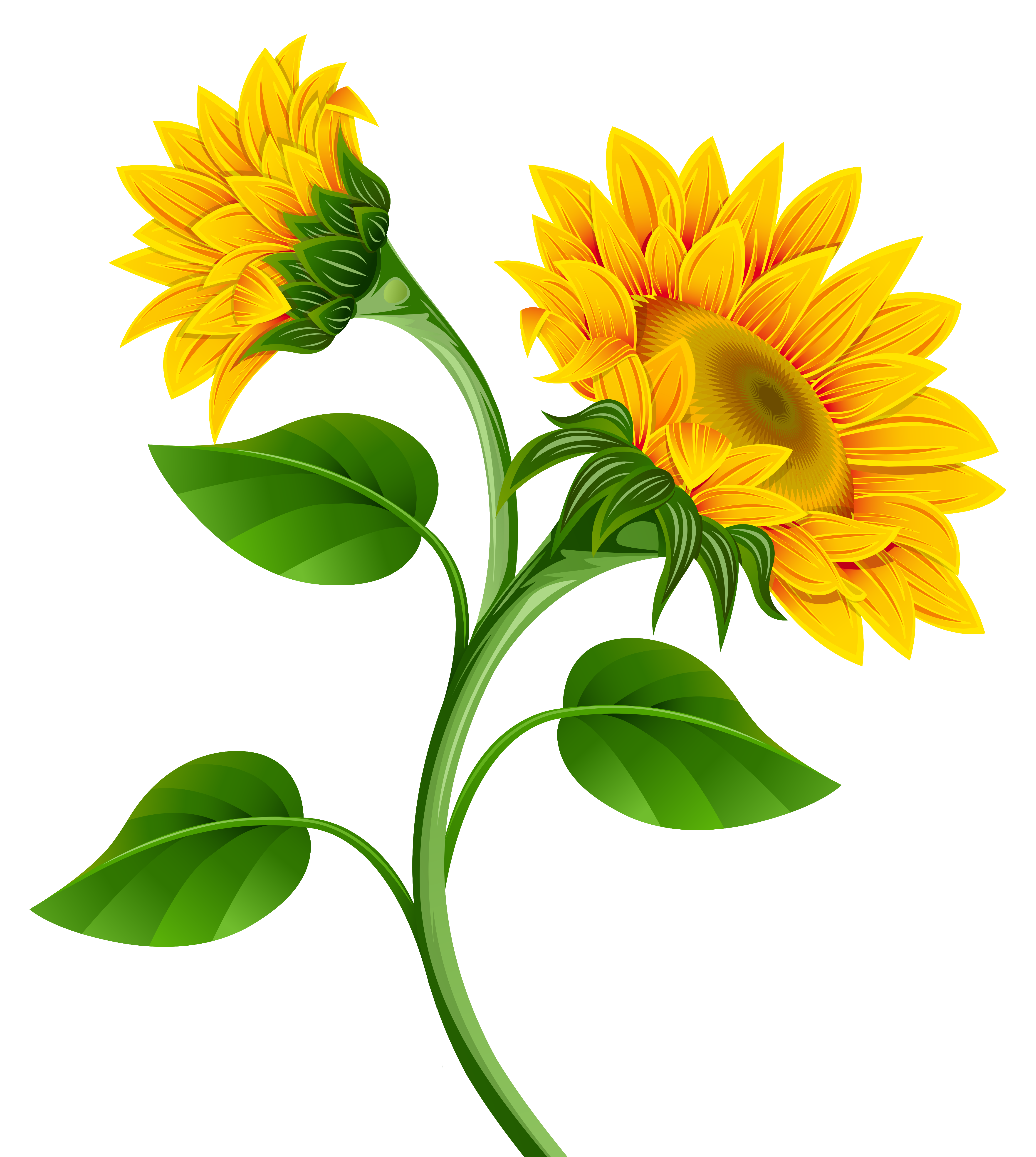Sunflowers png image gallery. White clipart sunflower