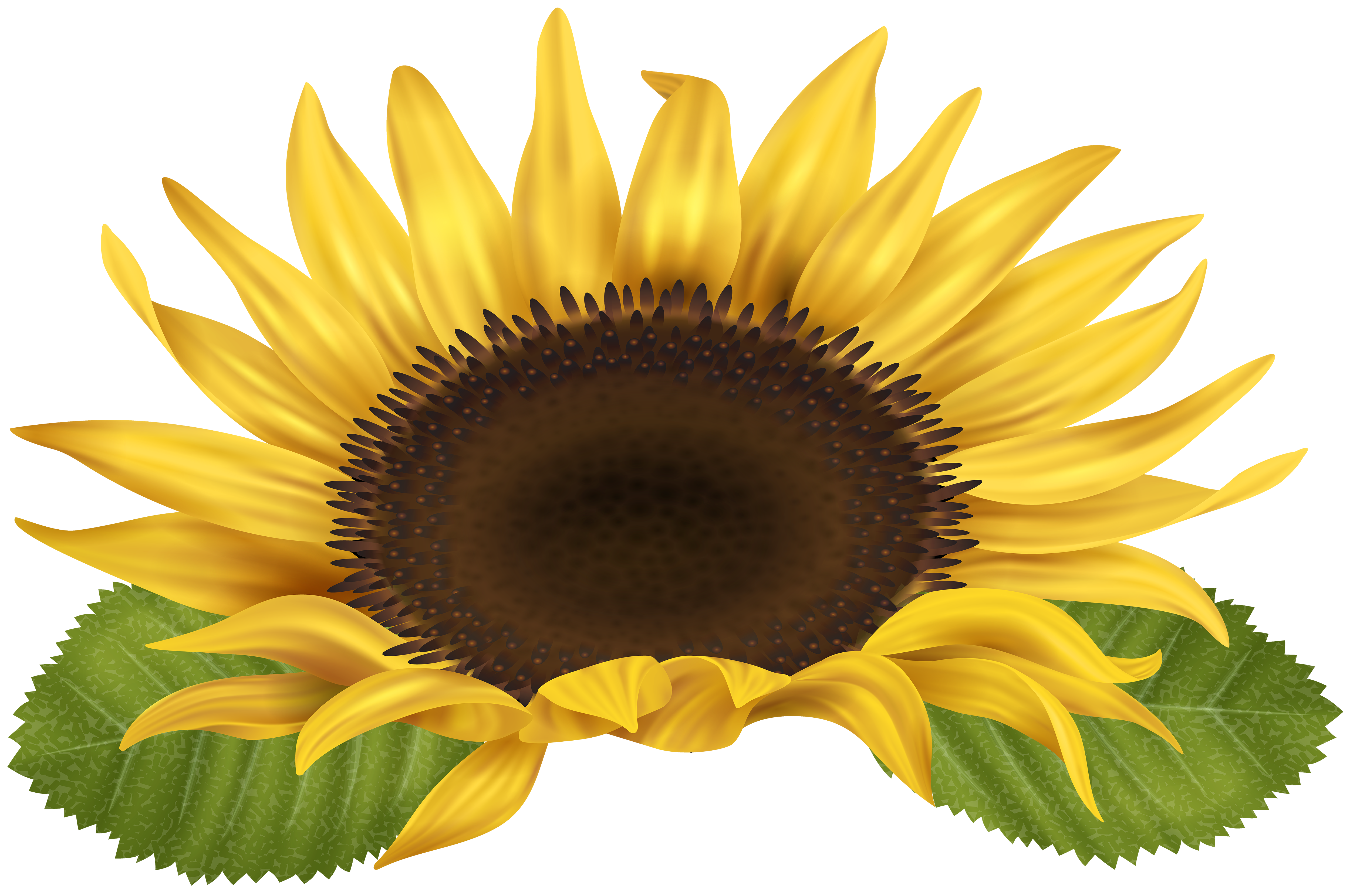 Sunflower clip art image. Sun flower png