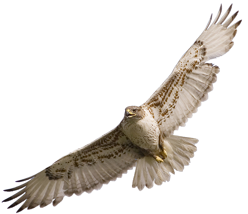 Pin by ohitekah on. Wing clipart falcon