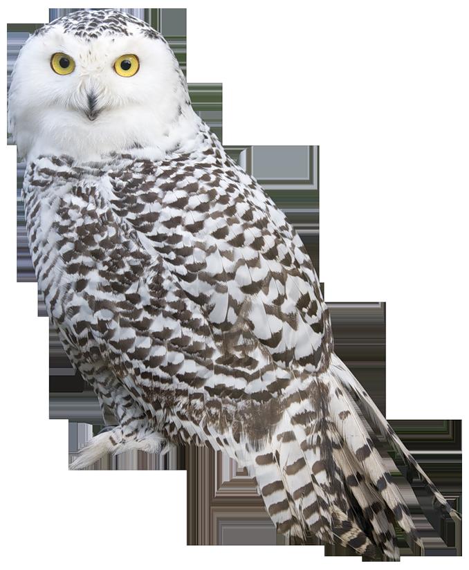 White owl png best. Clipart birds prey