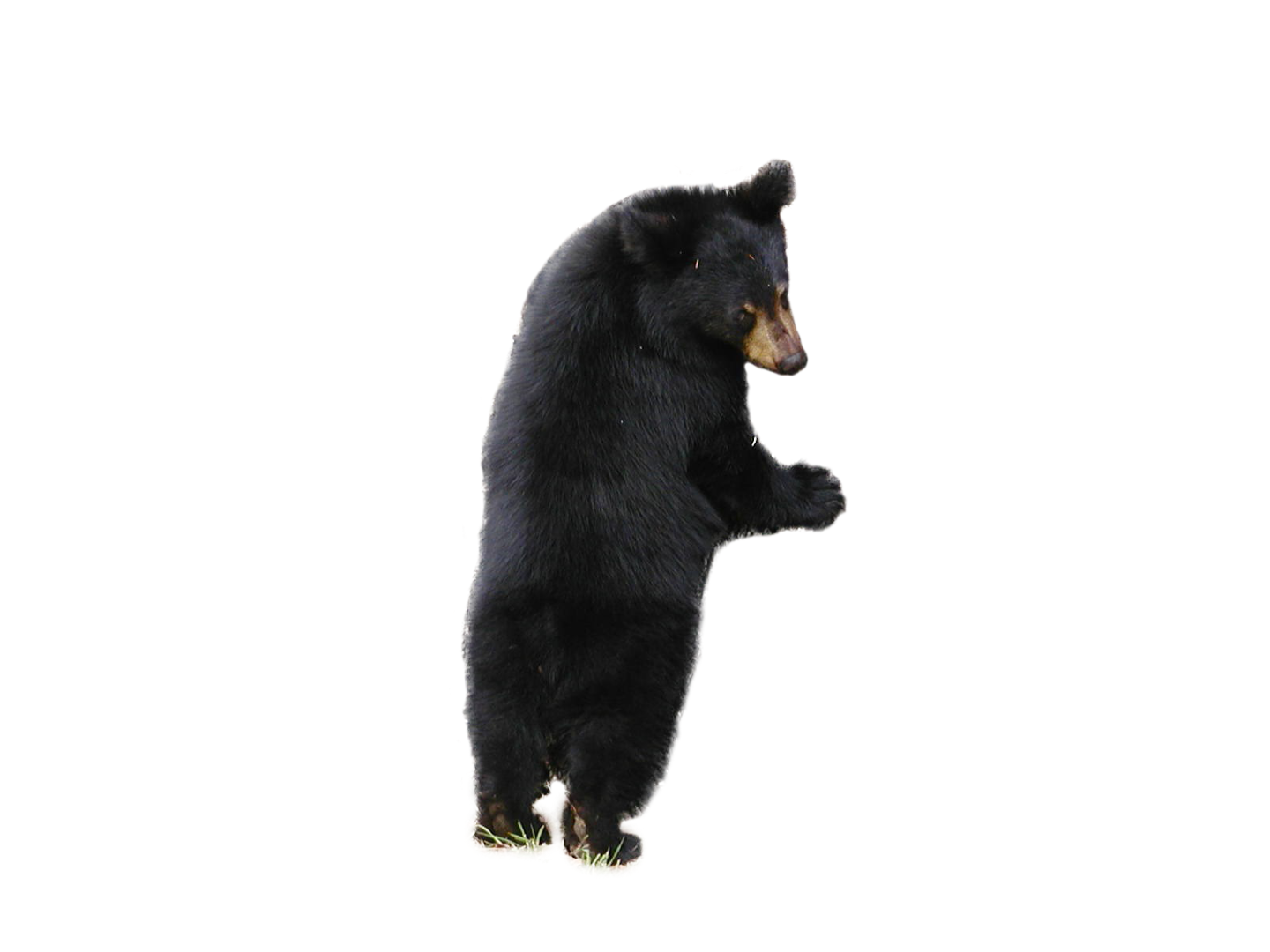 Clipart bear american black bear. Png free images