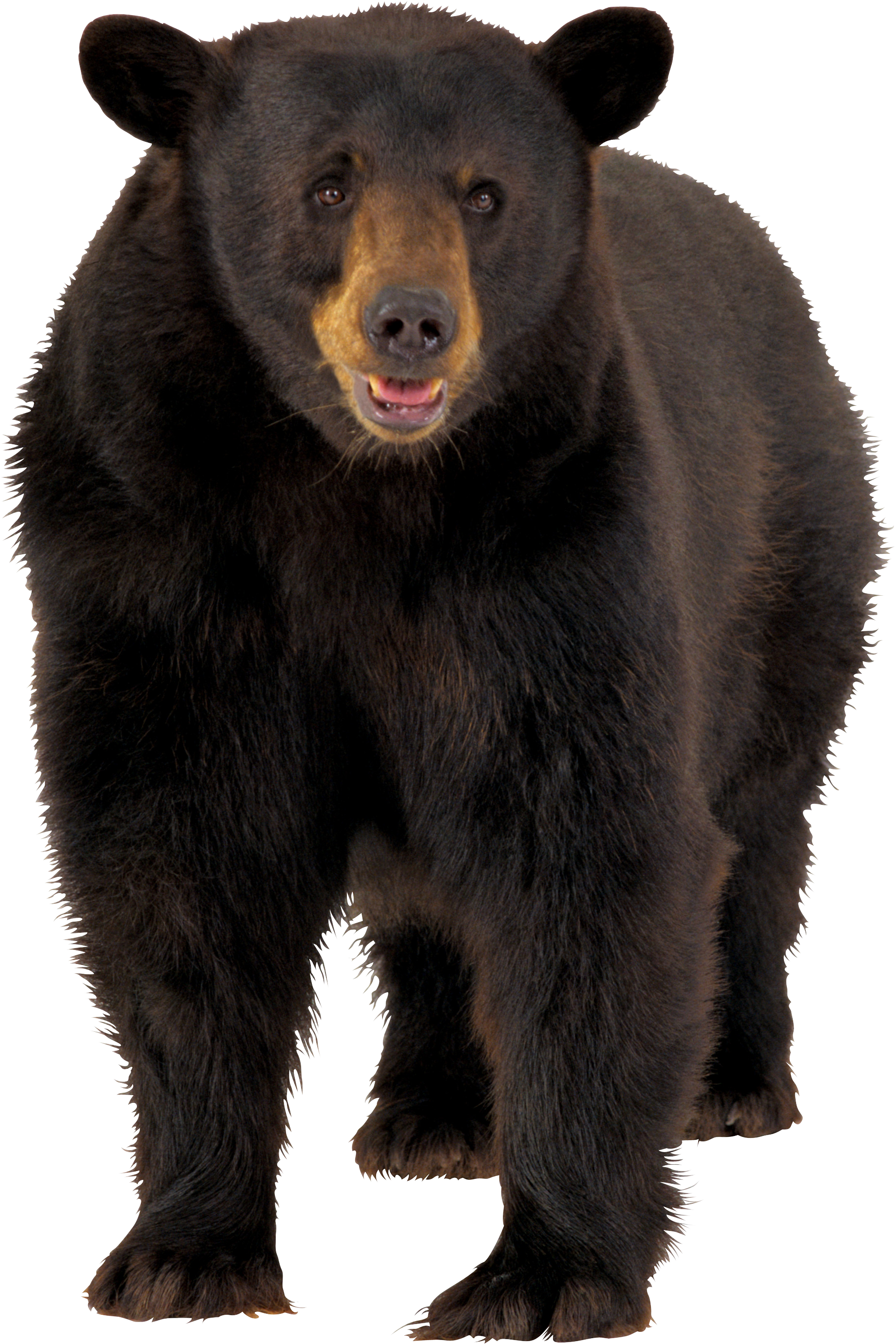 Brown png image . Clipart bear omnivores