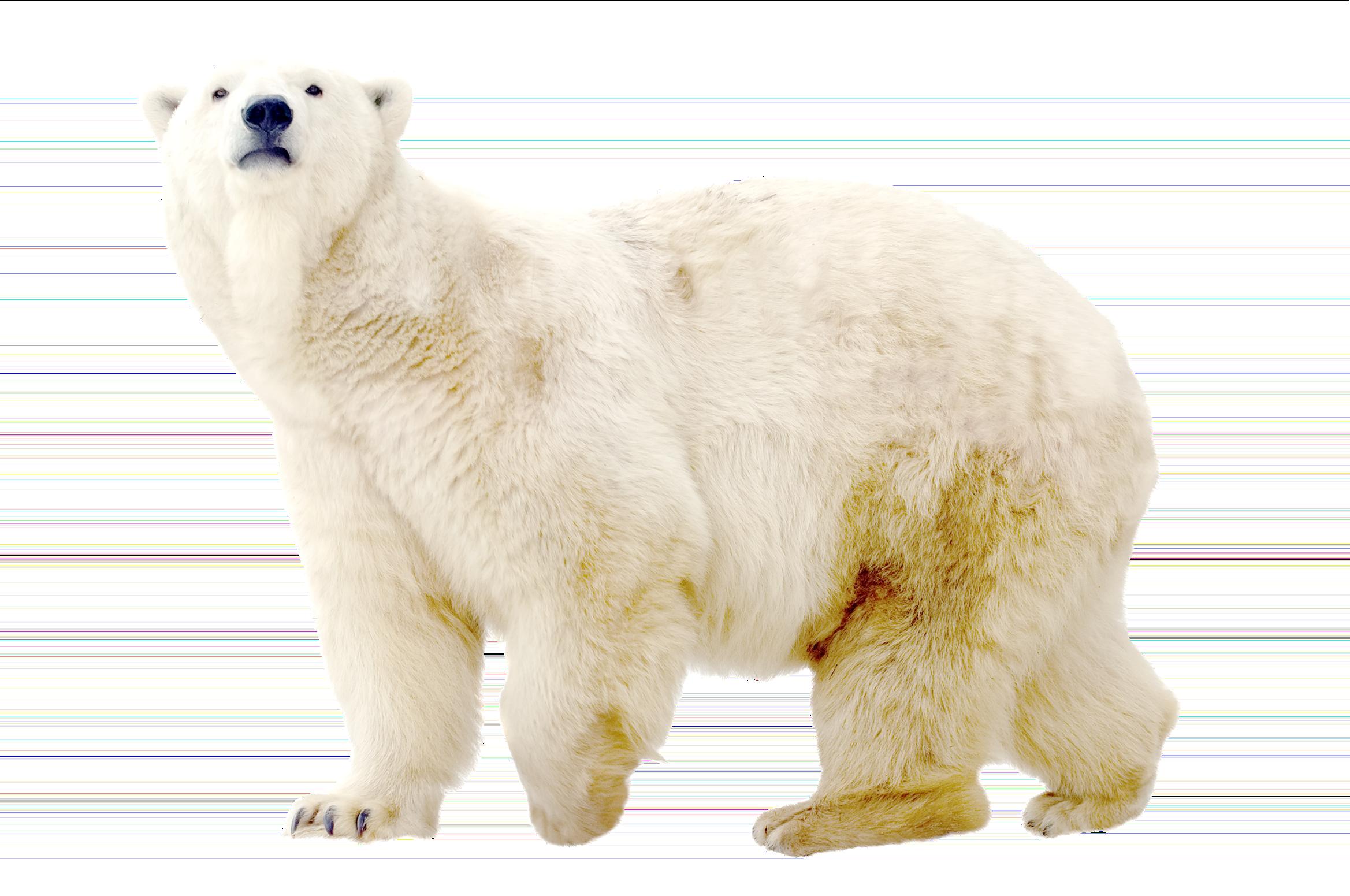 White png . Ice clipart polar bear