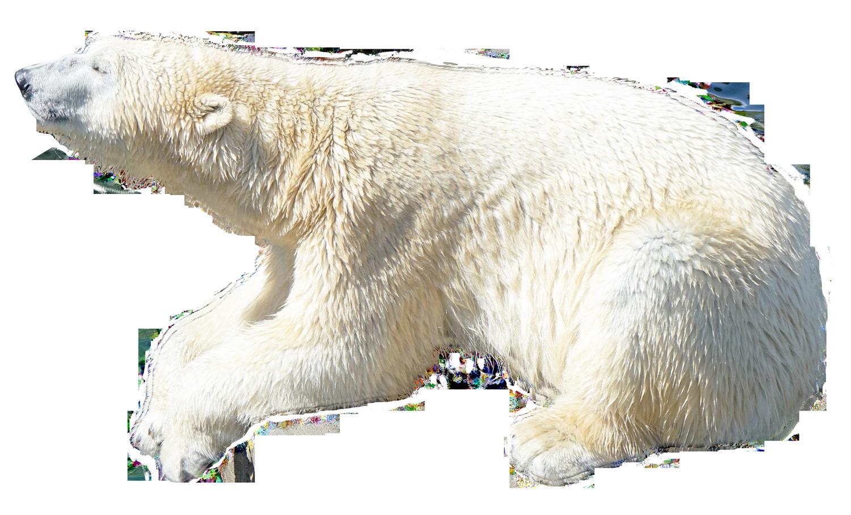 Polar white png . Clipart bear omnivores