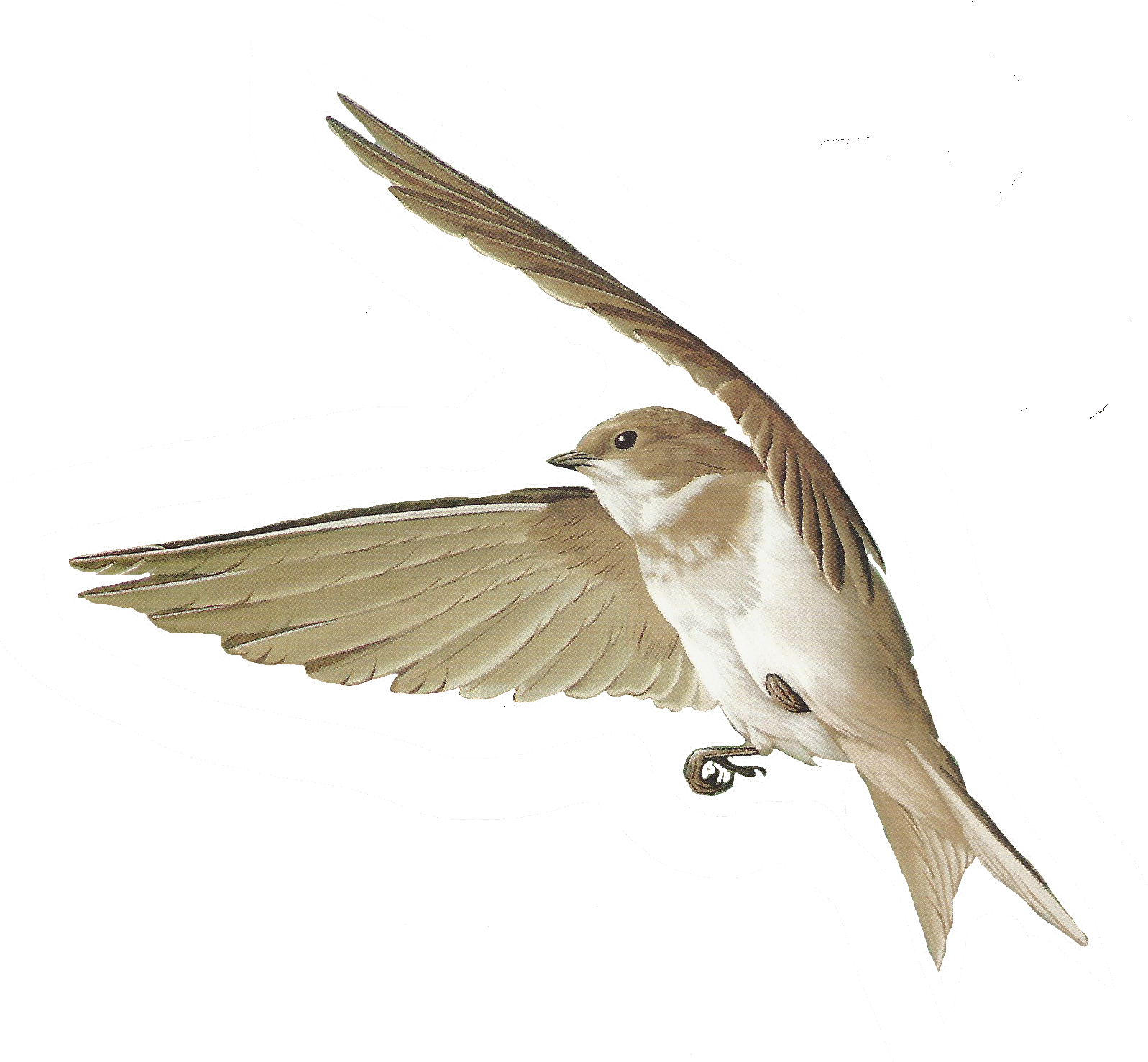 Free images of birds. Clipart bird body