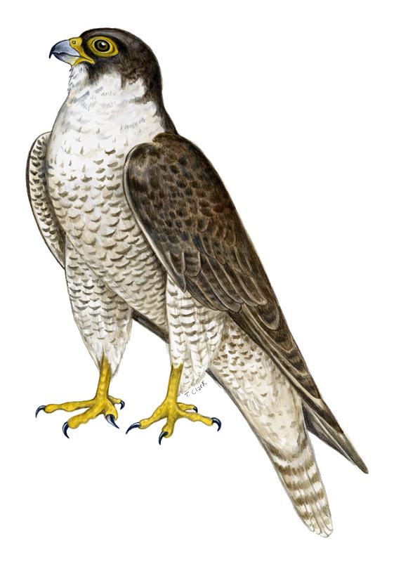 Falcon png web icons. Clipart birds falcons