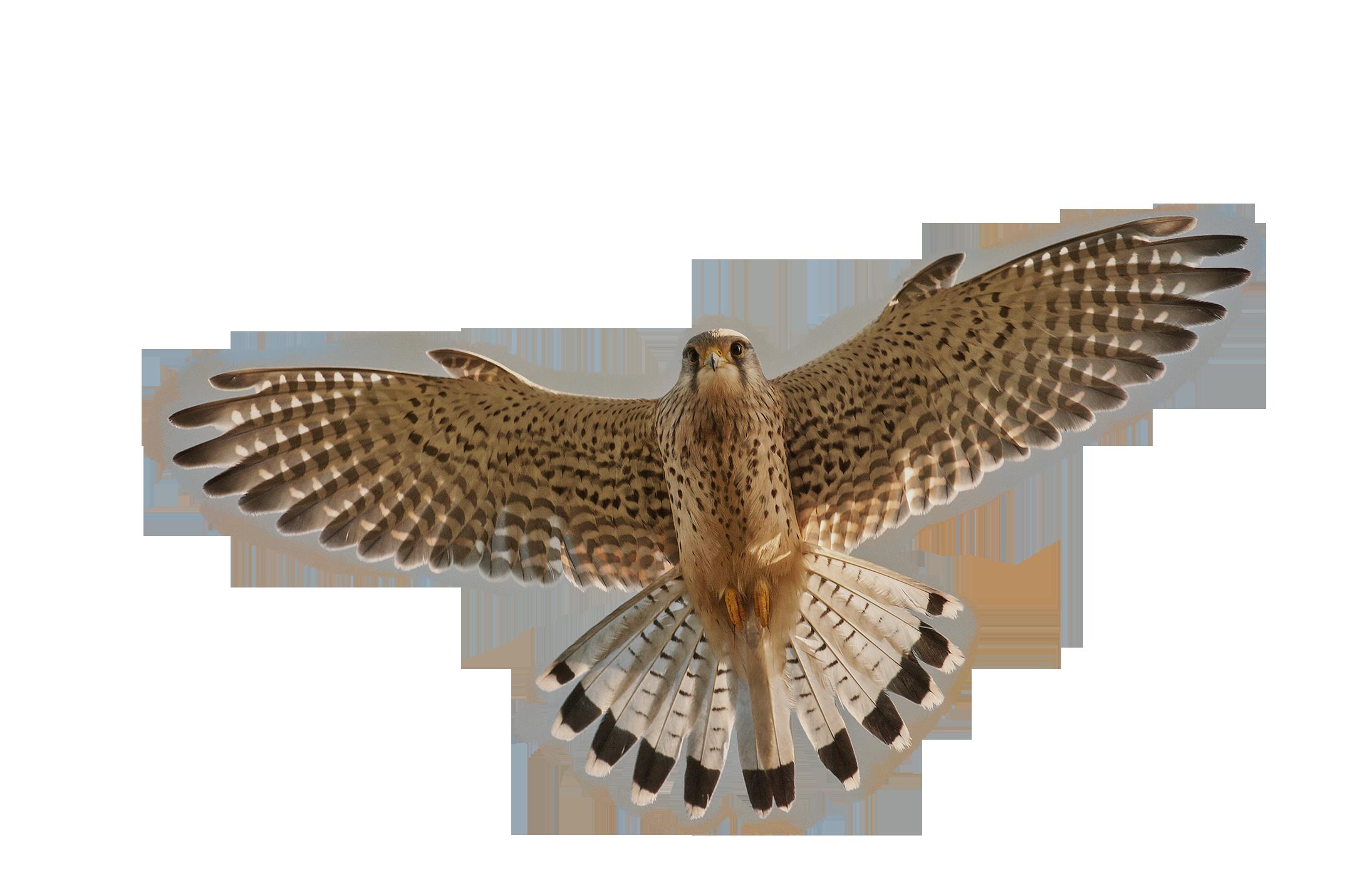Png web icons . Falcon clipart falcon bird