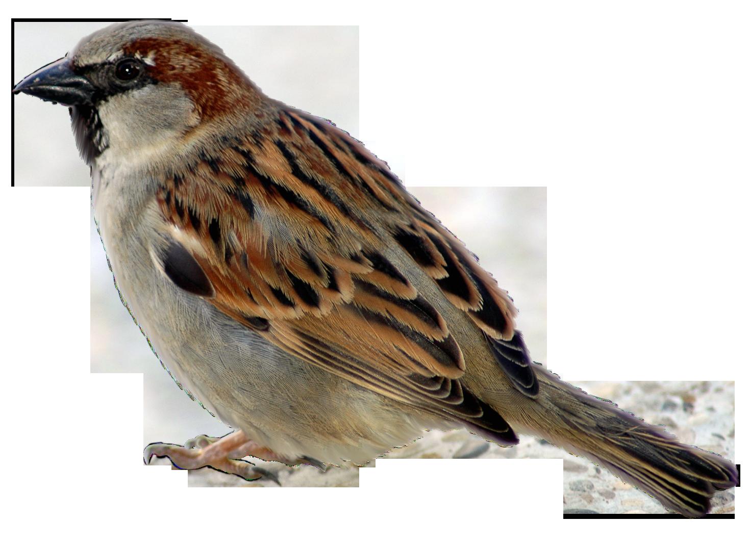 Png picture. Nest clipart sparrow nest