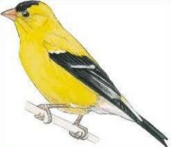 Free american cliparts download. Clipart bird goldfinch