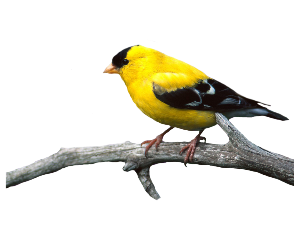 Clipart bird goldfinch. Birds png photo transparent